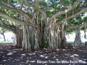 banyan-tree-aerial-root