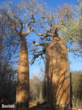 baobab-trees-1