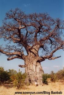 Baobob_tree