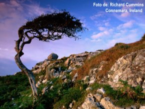 BN21397_41-FB~Wind-Sculpted-Tree-on-Rocky-Hillside-Connemara-Ireland-Posters