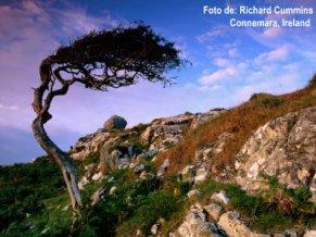 BN21397_41-FB~Wind-Sculpted-Tree-on-Rocky-Hillside-Connemara-Ireland-Posters