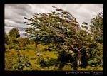 patagonia-tree-wind-growing