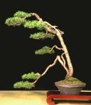 Pinus3t