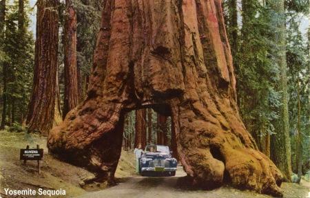 Wawona_Dive_Thru_Tree_Yosemite_CA_006