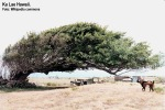 Wind-blown_tree_Ka_Lae_Hawaii