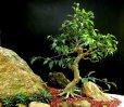 Ficus Aipim