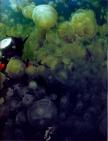 Palau 1992 - David Doubilet - Mergulho num lago salgado no meio de águas vivas
