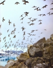 Vindas do mar as Tordas retornam aos ninhos- Fotógrafo: Paul Nicklen (2009)