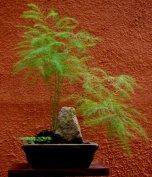 Bambu chinês