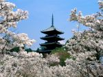 Cherry_Blossoms_NinnaJi_Temple_Grounds_Kyoto_Japan