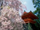 Cerejeiras no templo de Ninnaji.Kyoto Japão