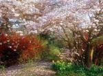 Japanese_Cherry_Tree