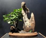 Penjing com Viburno - Aido Bonsai (Paulo Netto)