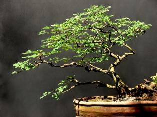 Pithecolobium thortum - Aido Bonsai