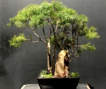 Bonsai de Eugenia sprengelli - aido Bonsai (Paulo Netto)