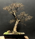 Ulmus chinesis - Aido Bonsai (Paulo Netto)