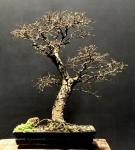 Ulmus chinesis – Aido Bonsai (Paulo Netto)