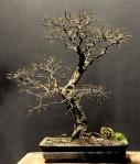 Ulmus chinesis – AidoBonsai