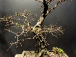 Ulmus chinesis - Aido Bonsai