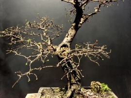 Ulmus chinesis - Aido Bonsai