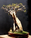 Bonsai Bougainvillea