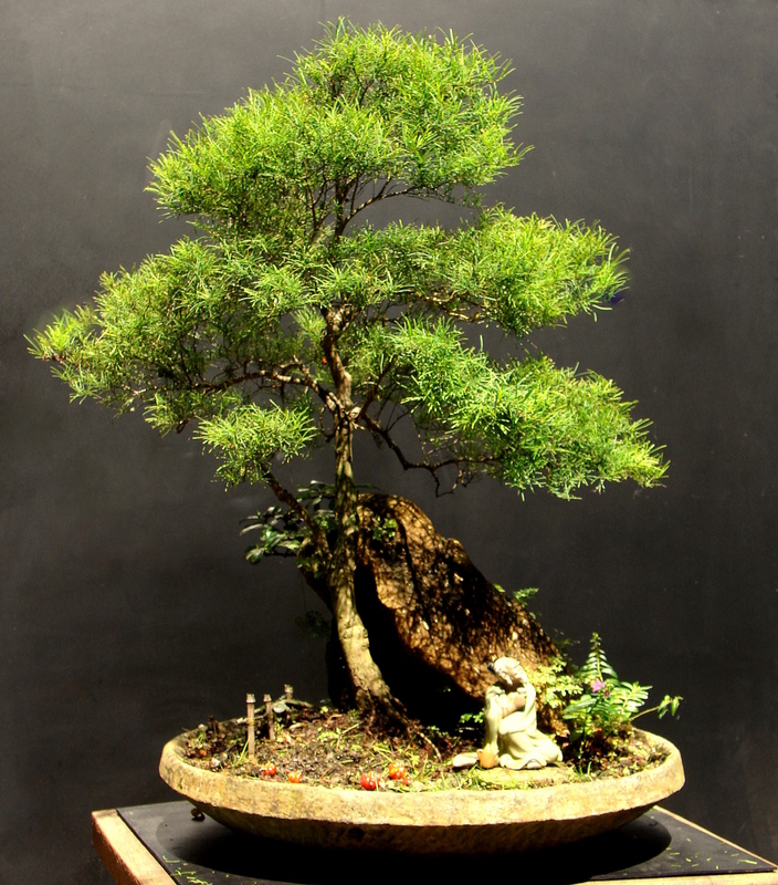 Eugenia sprengelli arama o e poda aido bonsai for Bonsai de jardin