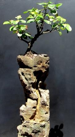 Bonsai de Viburno - Aido Bonsai