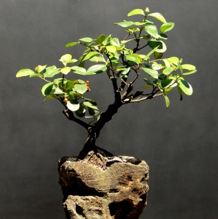 Bonsai de Viburno - Aido Bonsai