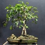 Ficus benjamina – AidoBonsai