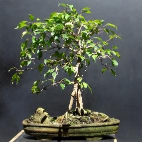 Ficus benjamina - Aido Bonsai