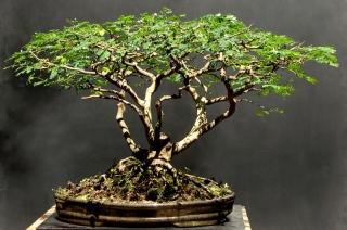 Pithecolobium torthum - Aido Bonsai (Paulo Netto)