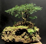 Bonsai com pithecolobium thortum - Aido Bonsai (Paulo Netto)
