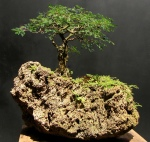 Bonsai com pithecolobium thortum – Aido Bonsai (Paulo Netto)