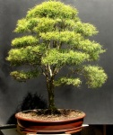 Bonsai de Eugenia sprengelli – frente