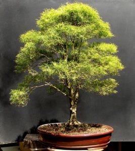 Bonsai de Eugenia sprengelli - Aido Bonsai