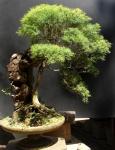 Bonsai de Eugenia sprengelli – AidoBonsai