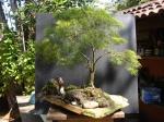 Penjing no Brasil – Aido Bonsai (PauloNetto)
