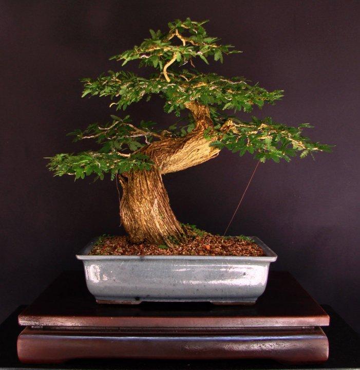 Bonsai para iniciantes - Cultivo de bonsai ...