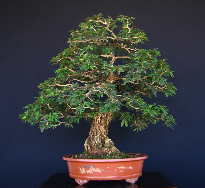 Caliandra spinosa aido bonsai - Como cultivar bonsais ...