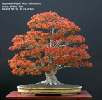 big Japanese maple bonsai in spring