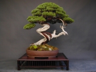 juniperus_chinensis