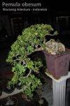 Adenium Obesum - Rosa do Deserto 7