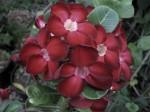 Adenium Obesum Dark Red