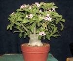 Adenium Obesum - Rosa do Deserto 5