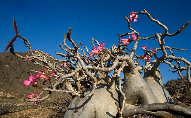 how to grow desert rose nsw