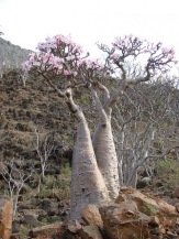 Socotra_Island_11