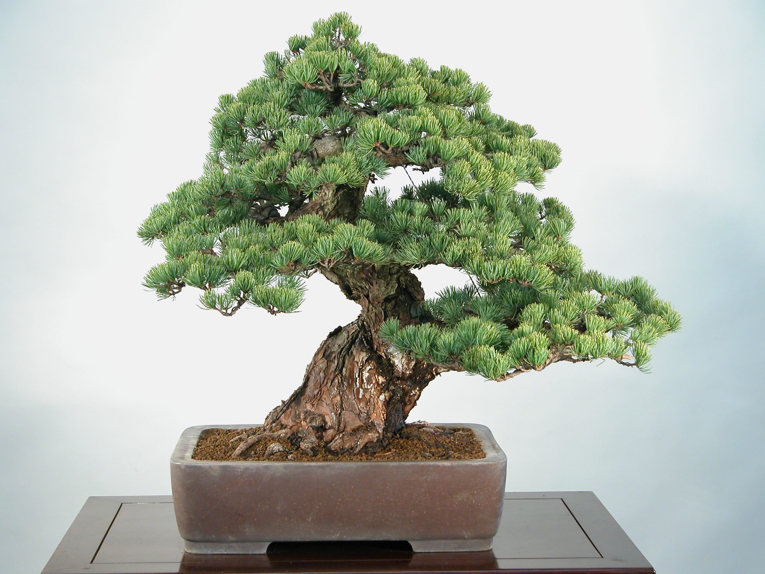 Moyogi galeria do estilo ereto informal aido bonsai - Plantas para bonsai ...