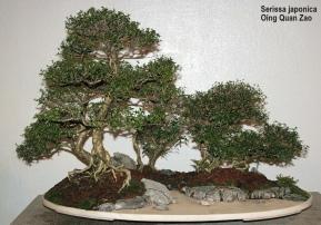 Bonzai & Penjing - Snow rose - Serissa japonica - Rubiaceae - 25