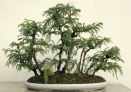 Bonsaï & Penjing - Japanese cedar - Cryptomeria japonica - Taxod