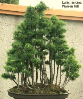 Bonsaï & Penjing - Tamarak - Larix laricina - pinaceae 40 years